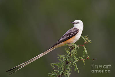 Poster featuring the photograph Male Scissor-tail Flycatcher Tyrannus Forficatus Wild Texas by Dave Welling