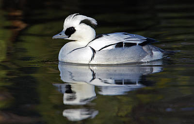 Male Smew Poster