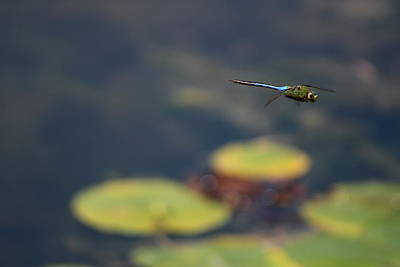 Malibu Blue Dragonfly Flying Over Lotus Pond Poster