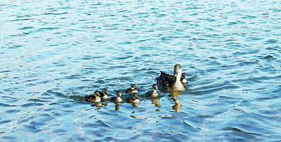 Mallard Duck And Baby Ducklings Poster