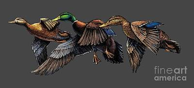 Mallard Ducks In Flight Poster