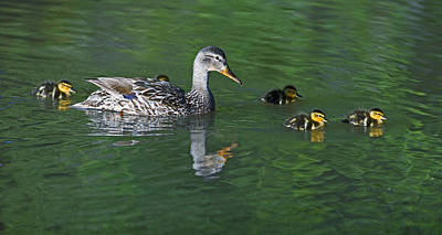 Mallard Hen And Her Ducklings Out For A Swim Poster by Gary Langley