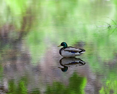 Poster featuring the photograph Mallard In Reflecting Pool H58 by Mark Myhaver