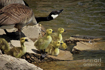 Mama And Goslings Drinking From The River Poster