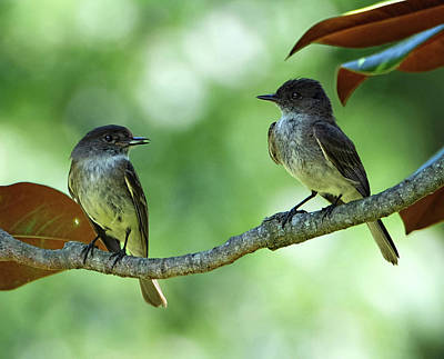 Mama And Papa Kingbird Poster
