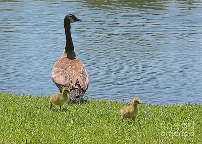 Mama Goose With Goslings Poster