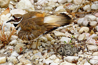 Mama Killdeer With Her Eggs Poster by Heidi Peschel