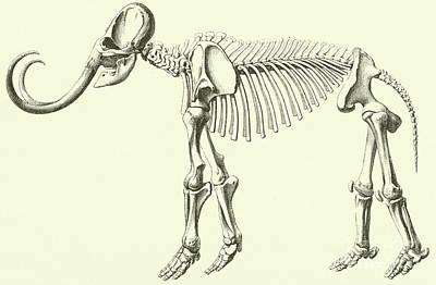 Mammoth, Elephas Intermedius Poster