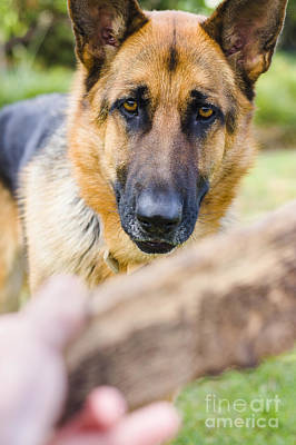 Man Playing Fetch With German Shepherd Pet Dog  Poster by Jorgo Photography - Wall Art Gallery