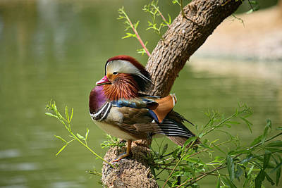 Mandarin Duck On Tree Poster