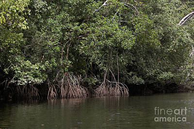 Mangrove Tree In Orinoco Delta Poster by Gerard Lacz