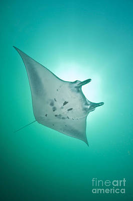 Manta Ray With White Belly, Komodo Poster by Mathieu Meur