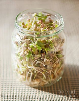 Many Cereal Sprouts Growing In Glass Jar  Poster