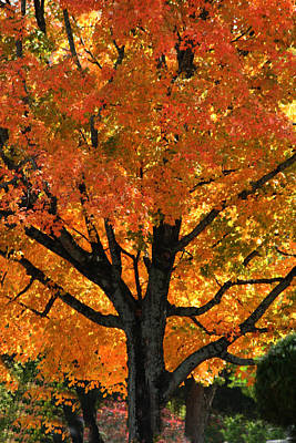Maple Hill Maple In Autumn Poster