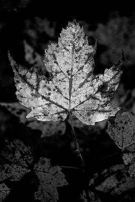 Maple Leaf In Black And White Poster