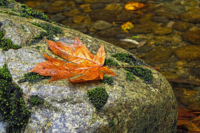 Maple Leaf On A Rock Poster