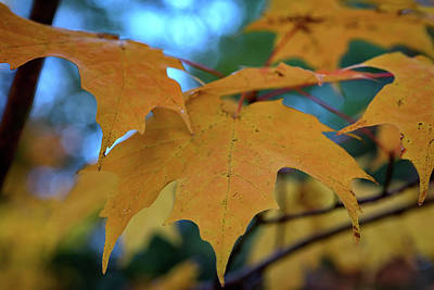 Maple Leaves In Autumn Poster by Rick Berk