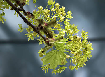 Maple Tree Flowers 2 - Poster