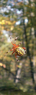 Marbled Orb Weaver Poster by Joshua Bales