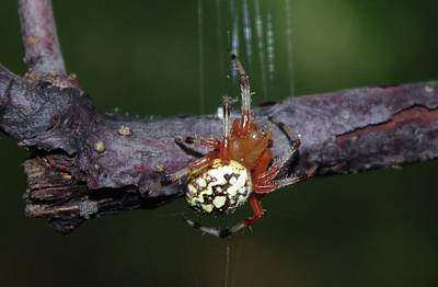 Marbled Orb Weaver Poster by Lynda Dawson-Youngclaus