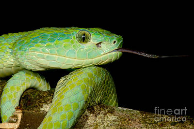 Marchs Palm Pitviper Poster by Dant� Fenolio