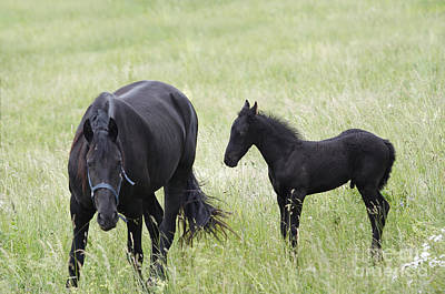 Mare With Black Colt On A Meadow Poster by Michal Boubin