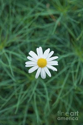 Marguerite Chelsea Girl Flower Poster