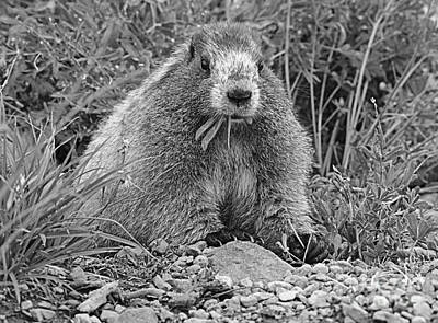 Marmot Eating Salad Bw Poster by Marv Vandehey
