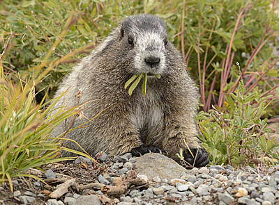 Marmot Eating Salad Poster by Marv Vandehey