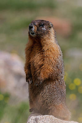 Poster featuring the photograph Marmot by Gary Lengyel