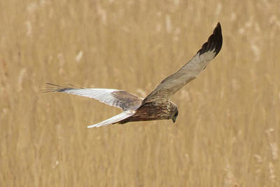 Marsh Harrier Quartering Poster