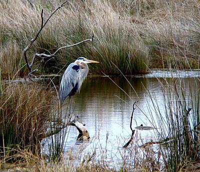 Marsh Pond Great Blue Heron Poster by Phyllis Beiser