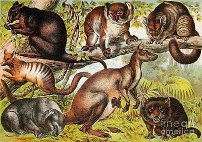Marsupials Poster