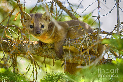 Marten Poster by Aaron Whittemore