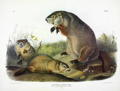 Maryland Marmot, Woodchuck, Groundhog Poster