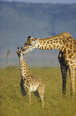 Masai Giraffe Mother And Young Kenya Poster