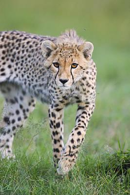 Masai Mara Cheetah Cub Poster by Suzi Eszterhas