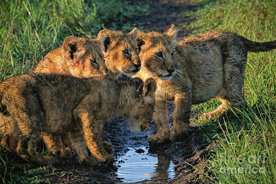 Poster featuring the photograph Masai Mara Lion Cubs by Karen Lewis