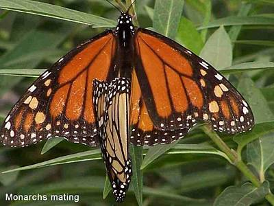 Mating Monarchs Poster