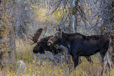 Mating Moose Poster by Kelly Marquardt