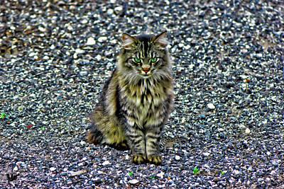Mattie The Main Coon Cat Poster