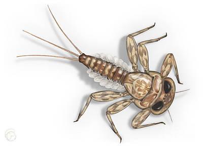 Mayfly Larva Nymph Rithorgena Ecdyonurus Venosus - Moscas De May Poster
