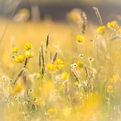 Meadow Buttercups Poster by Sylvia Slavin