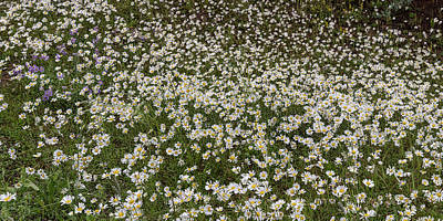 Poster featuring the photograph Meadow Of Daisey Wildflowers Panorama by James BO Insogna