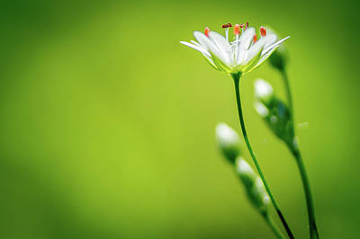 Meadow Saxifrage Macro Poster