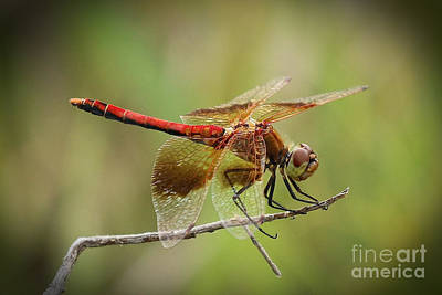 Meadowhawk Dragonfly Poster by Angela Koehler