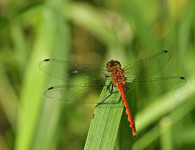 Meadowhawk Dragonfly Poster by Michael Peychich