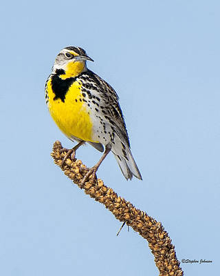 Meadowlark On Mullein Stalk Poster by Stephen Johnson