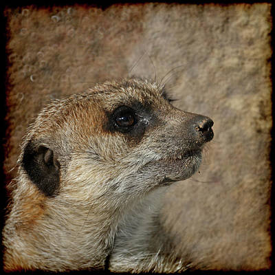 Meerkat 3 Poster by Ernie Echols