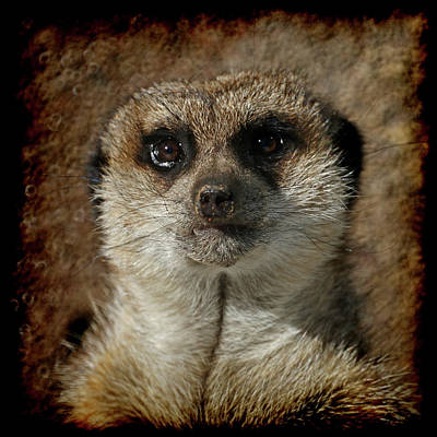 Meerkat 4 Poster by Ernie Echols